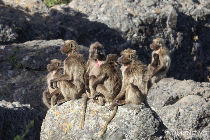 Помойные обезьяны: как павианы повторили путь западной цивилизации