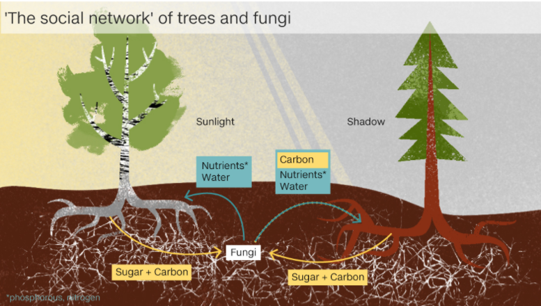 На корнях растений живут грибы-симбионты, получающие сахара в обмен на фосфор и иные услуги, в том числе доставку питательных веществ от корней соседних деревьев / ©AlbertonRecord.co.za